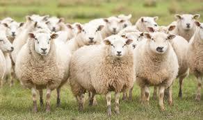 Sợi len lông cừu, sợi len tự nhiên
